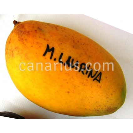 Mangifera  laurina