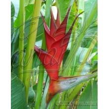 Heliconia caribaea 'Red'