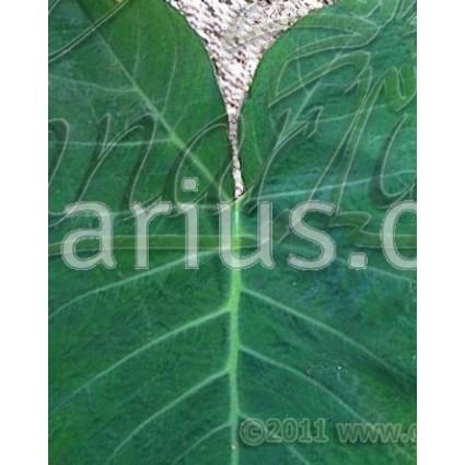 Xanthosoma sagittifolium violaceum -  Purple Tannia, Malanga