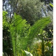 Lepidozamia peroffskyana - LARGE