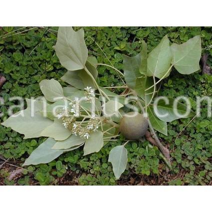 Aleurites moluccana - Candle Nut