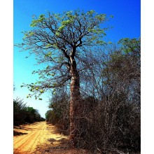 Delonix floribunda