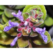 Plectranthus socotranus