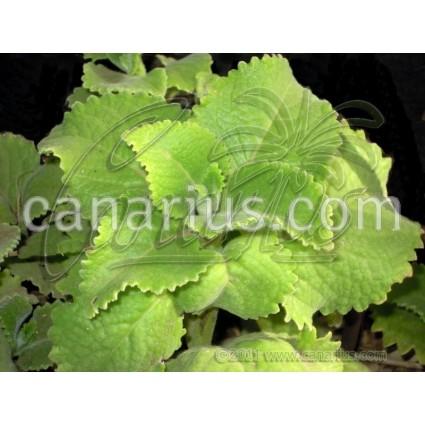 Plectranthus amboinicus - Tropical Oreganon