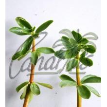 Peperomia inaequalifolia - Canela Canaria