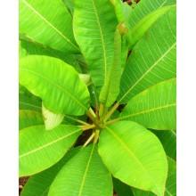 Plumeria rubra - Wild Type