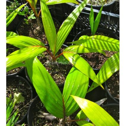 Chambeyronia macrocarpa var. hookeri