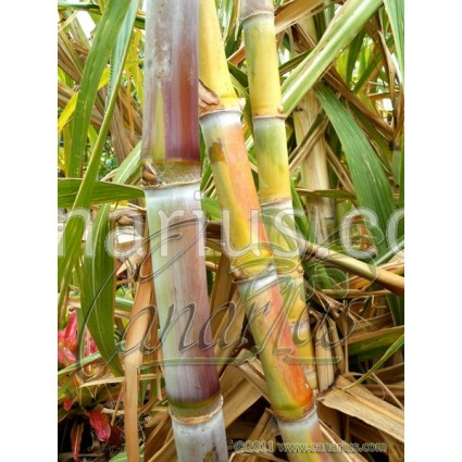 Saccharum officinarum 'Caña Blanca' - Pink-white  Sugarcane