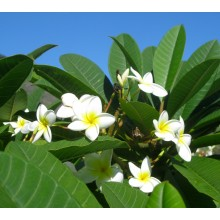 Plumeria Common white