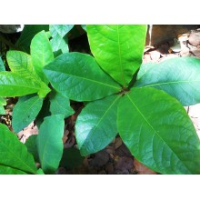 Terminalia catappa - Tropical Almond