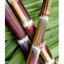 Saccharum officinarum 'Ceniza Bengala' - Striped Sugarcane