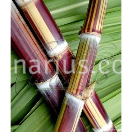 Saccharum officinarum 'Ceniza Bengala' - Striped Sugarcane