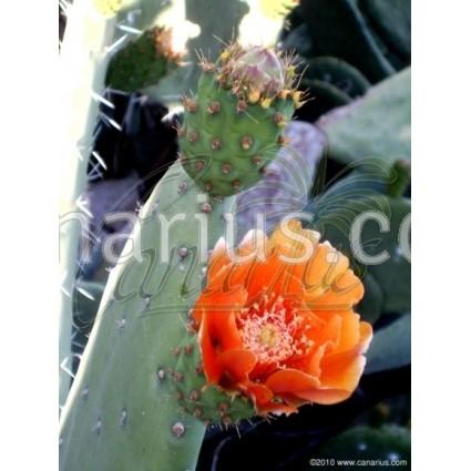 Opuntia ficus indica - Tunera picona