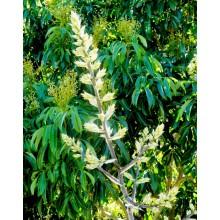 Aechmea floribunda