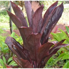Cordyline fruticosa 'Lyon's Black'