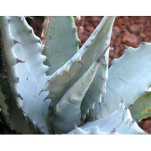 Agave cerulata subsp. cerulata