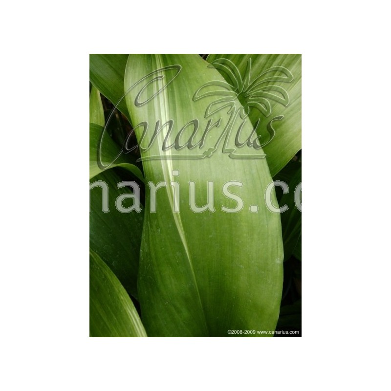 acheter aspidistra elatior cv  variegata avec canarius