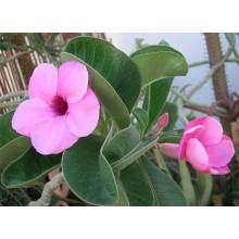 Adenium bohemianum