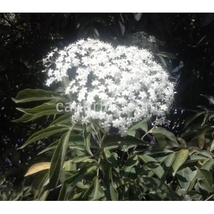 Sambucus nigra - Black Elderberry