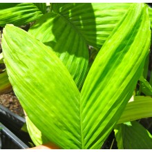 Chamaedorea brachypoda