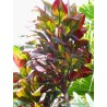 Cordyline fruticosa 'Maui Silver'