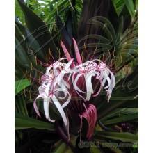 Crinum procerum splendens
