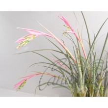 Billbergia nutans var. minor