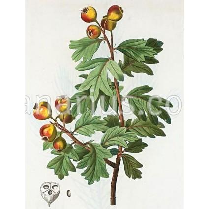 Mangifera indica cv. ' Pairi '