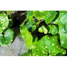Farfugium japonicum 'Aureomaculatum'