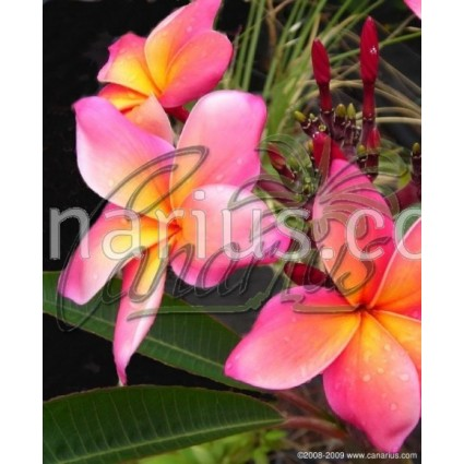 Plumeria - 3 year old Seedling of Mixed Hawaiian Hybrids