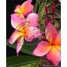 Plumeria - 3 year old Seedling of Mixed Hawaiian Hybrids