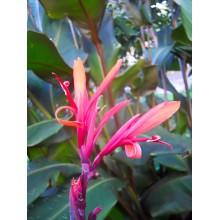 Canna x 'Musifolia rubra'
