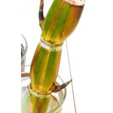 Saccharum officinarum ' Ko honua ula ' - Black Sugar Cane