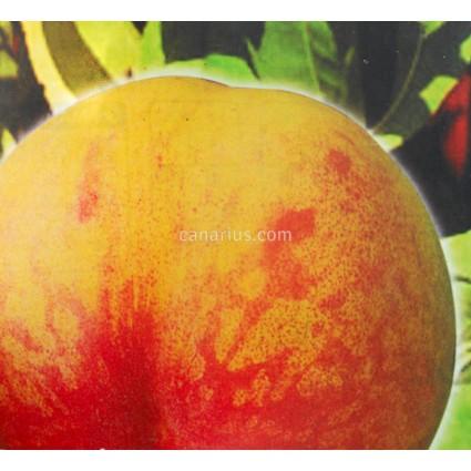 Prunus persica 'Alejandro Dumas'