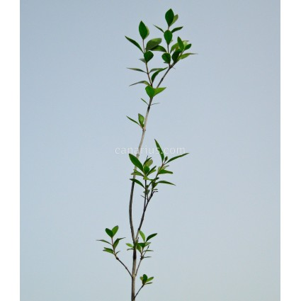 Lawsonia alba - Henna