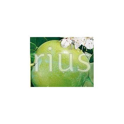 Prunus domestica  'Reine Claude Verte' - Greengage Plum