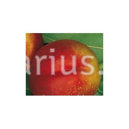 Prunus persica var. nectarina 'Fantasia' - Low Chill