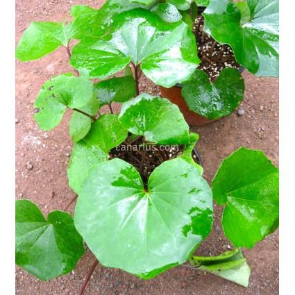 Farfugium japonicum 'Escargot'