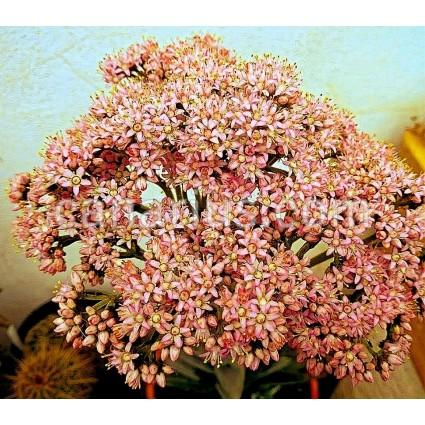 Crassula perfoliata var perfoliata