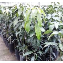 Mangifera indica 'Lemon Zest'