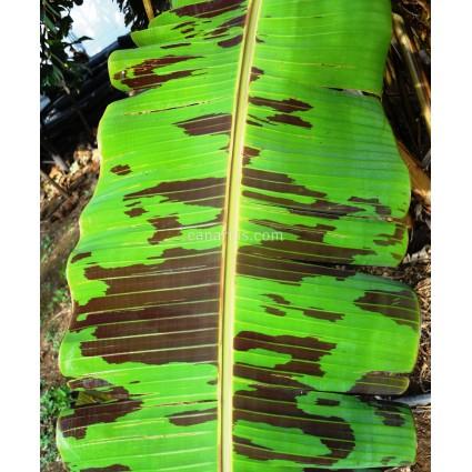 Musa acuminata var. sumatrana - Blood Banana