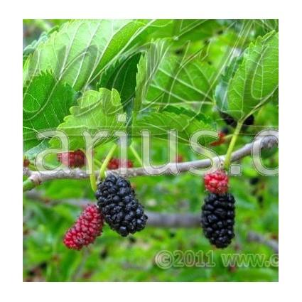 Morus nigra - Black Mulberry, Moral Negro