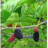 Morus nigra - Black Mulberry, Moral Negro - Small