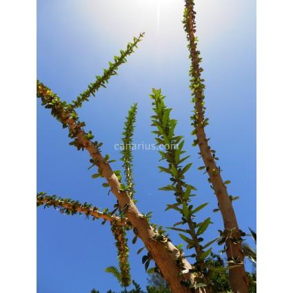 Crescentia mirabilis