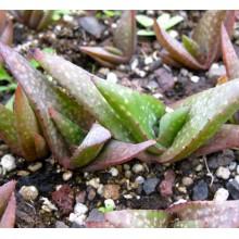 Aloe lavranosii