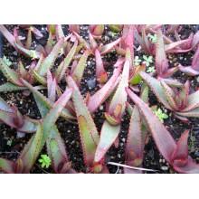 Aloe capitata var. capitata