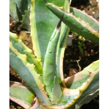 Agave americana ' Ingens Picta'