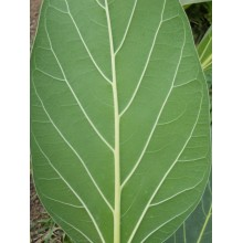 Ficus benghalensis - True Banyan