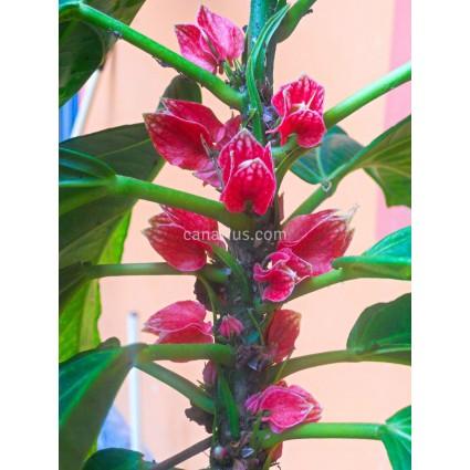 Goethea cauliflora