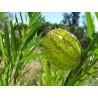 Gomphocarpus physocarpus - Balloon Plant